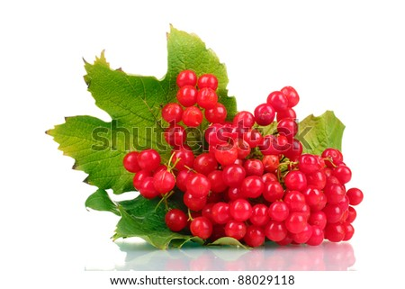 red berries of viburnum isolated on white