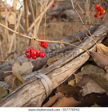 Red berries, Viburnum opulus, on the bush in autumn day - stock photo