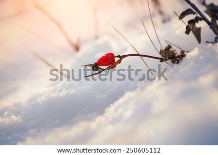 Red berry briar in the snow. Beautiful winter nature. Winter background with soft focus - stock photo