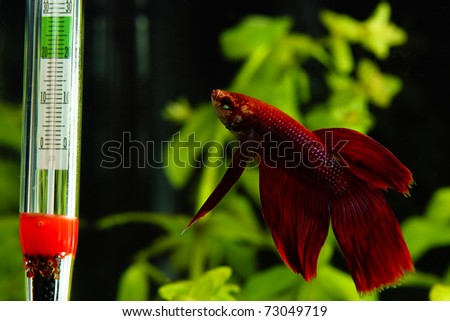 Red betta looking at thermometer in aquarium - stock photo
