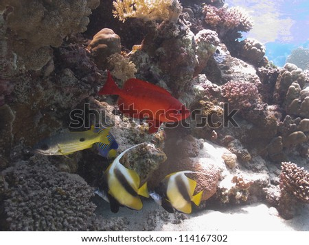 Red big eye fish and bannerfishes underneath the hard coral - mix of the red sea fishes
