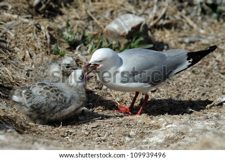 Red-billed Gull feeding two chicks. - stock photo