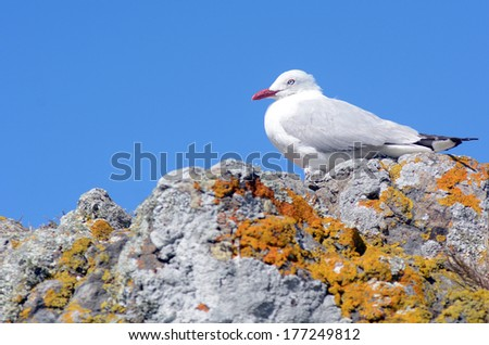 Red-billed gull sit on a rock - stock photo