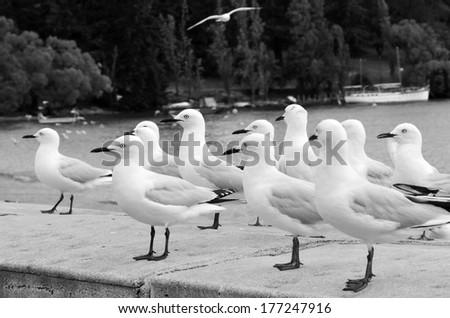 Red-billed gulls in Queenstown New Zealand. (BW) - stock photo
