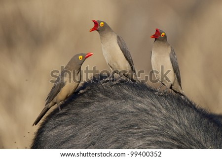 Red Billed Ox Peckers (Buphagus erythrorhynchus), South Africa