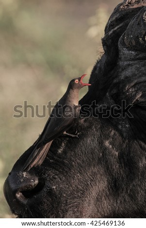 Red-billed oxpecker looking for insects on Cape buffalo
