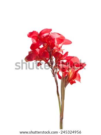 Red bird of paradise isolated on white background - stock photo