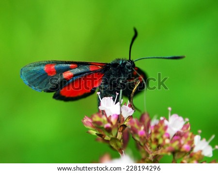Red black butterfly (Zygaena ephialtes)
