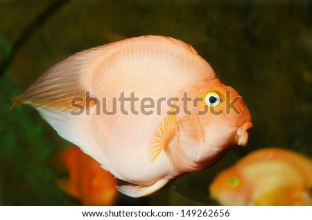 Red Blood Love Parrots fish  - stock photo
