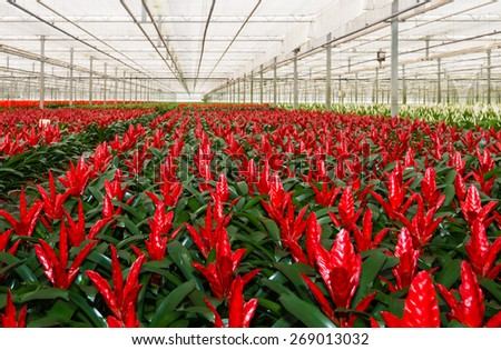 Red blooming bromeliad plants in a Dutch greenhouse horticulture company that specializes in houseplants - stock photo