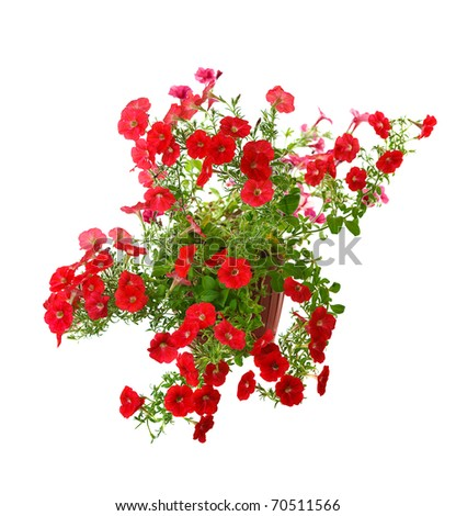 red blooming petunia in pot isolated on white background