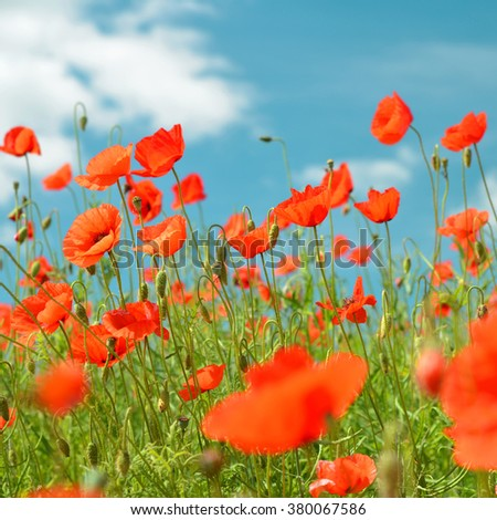 Red blooming poppy, field of blossoming flowers in sunny spring day. - stock photo