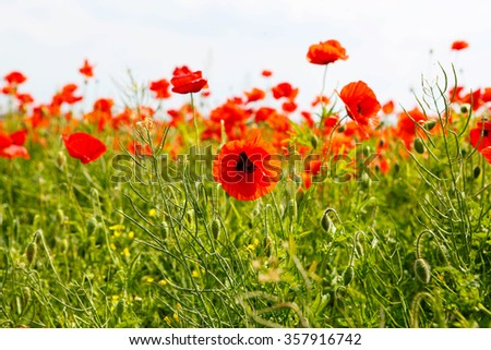 Red blooming poppy, huge field of blossoming flowers on sunny summer day - stock photo