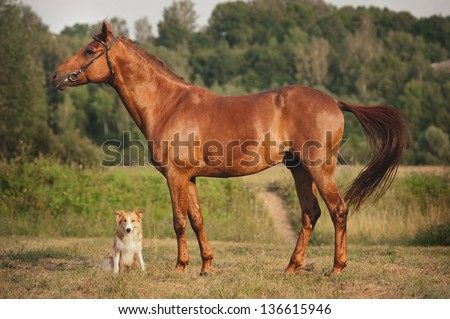 Red border collie dog and horse together at sunset in summer - stock photo