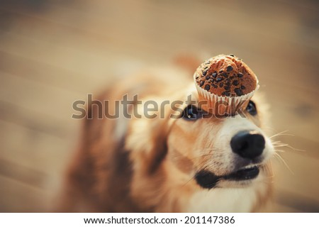 red border collie dog keeps cake on her nose - stock photo