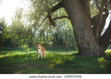 Red border collie dog walking in  backyard, summer