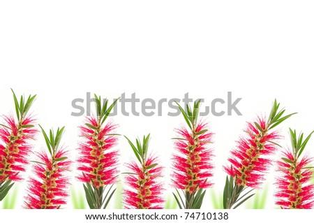 red bottle brush flower isolated on white background - stock photo