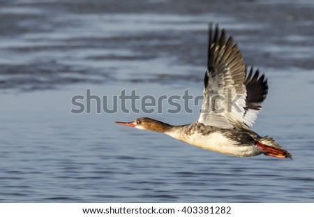 Red-breasted merganser (Mergus serrator) female flying, Galveston, Texas, USA