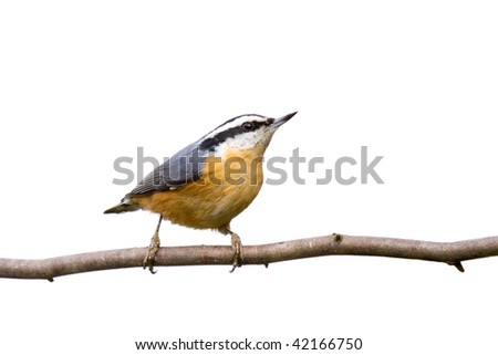 red-breasted nuthatch perched on a branch in search of food; white background