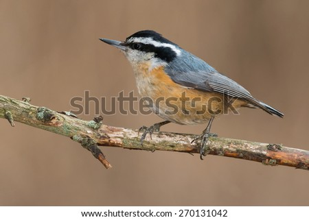 Red-breasted Nuthatch perched on a dead branch.
