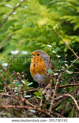 Red Breasted Robin Bird perched on a branch in a garden bush. - stock photo