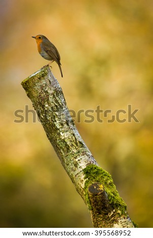 Red Breasted Robin bird perched on tree stump in forest with blurred background. - stock photo