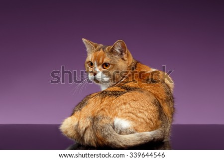 Red British Cat turned back on Purple Background  - stock photo