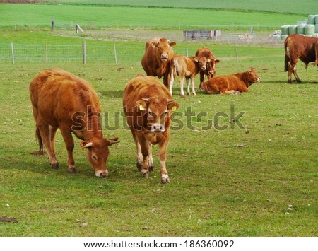 Red brown cows with calves in a meadow in spring - stock photo