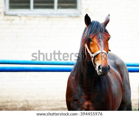 red brown horse muzzle of the halter over the white blue metal fence on the background of bright green foliage at the track in the summer - stock photo