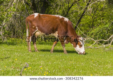 Red brown white cow grazes on the edge of the forest - stock photo