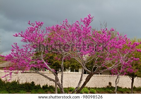 Red bud blooming - stock photo