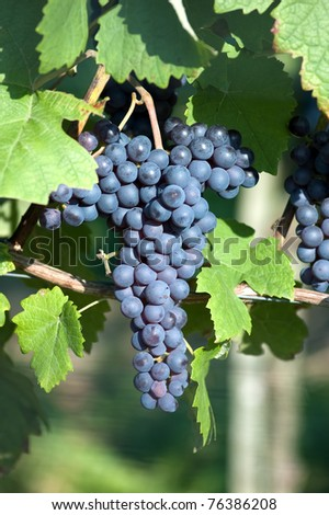 Red bunch of grape in the vinyard - stock photo