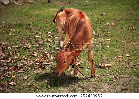 Red calf scratching its ear while standing at leaves