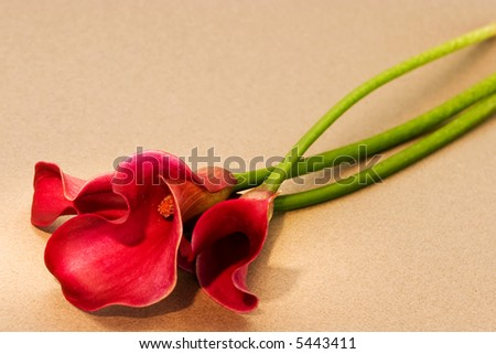 red calla lily - stock photo