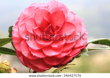 Red Camellia flower,beautiful red flower in full bloom in the garden in winter,closeup   - stock photo