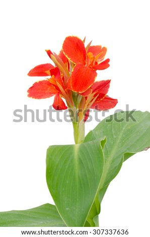 Red canna flower isolated on white background - stock photo