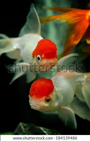 Red cap oranda goldfish close up in a fish tank