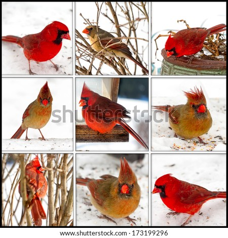 Red Cardinal collage using both female and male cardinals after a snowstorm searching for food - stock photo