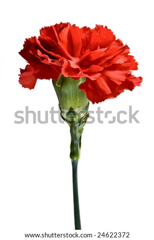 Red carnation flower isolated on white - stock photo