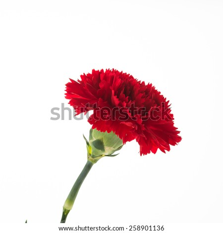Red carnation flower isolated on white background