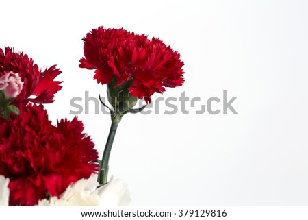 Red carnation flower on the white background.