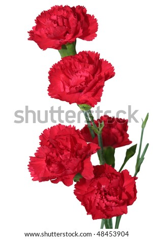 Red carnation flowers isolated on white background - stock photo