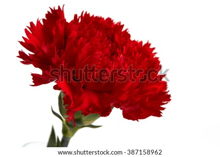 Red carnations flower isolated on white background.