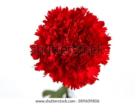 Red carnations flower isolated on white background