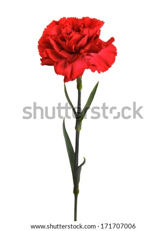 red carnations isolated - stock photo