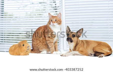 red cat and a dog and guinea pig together on window - stock photo