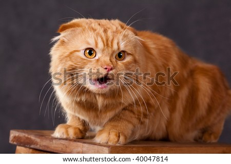 red cat angry - stock photo