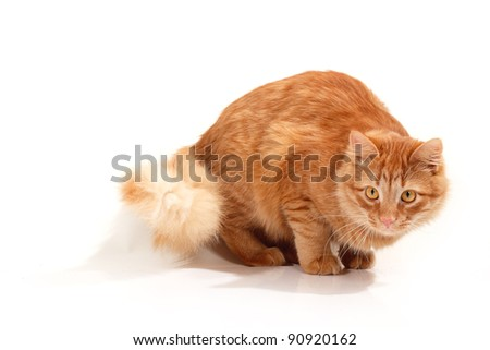 red cat attention isolated on white background