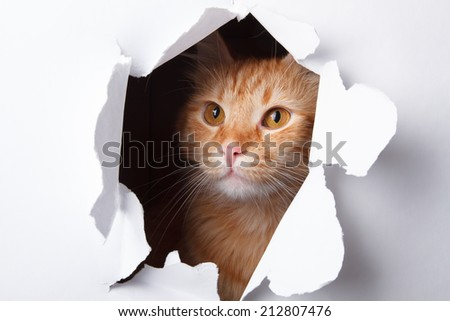 red cat in paper side torn hole  - stock photo