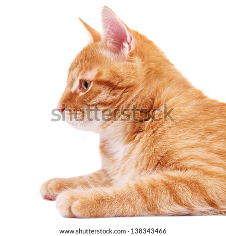 Red cat in profile - stock photo